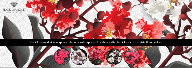 Black Diamond crapemyrtle