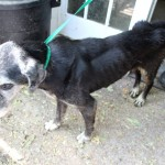 """According to SPCA, """"The dog was found to be emaciated and in need of medical attention."""""""